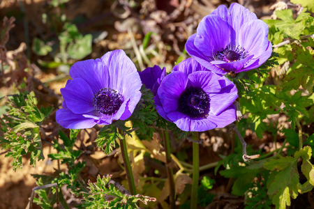 anemones: Bright group of flower violet anemones in a field Stock Photo