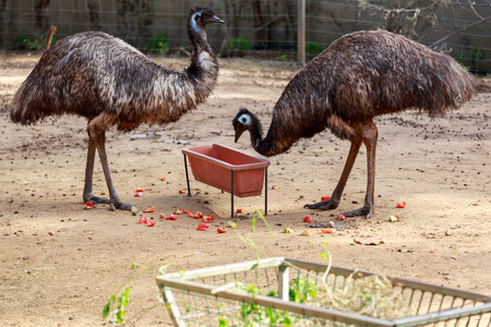 near: Two mature emu near a bird feeder