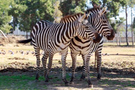 under a tree: Two zebras standing in a shadow under a tree