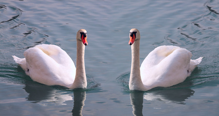 swimming swan: Beautiful pair of white swans with orange beak on a water Stock Photo
