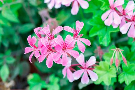 bicolor: Small pink geranium bush Stock Photo