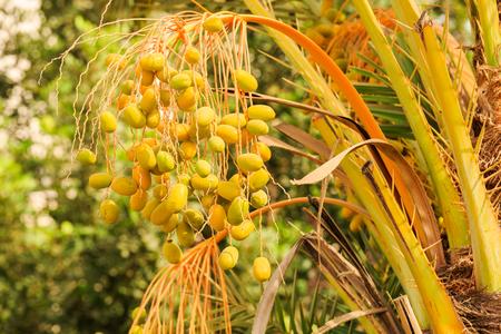israel farming: Unripe dates hanging on the palm tree Stock Photo