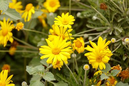 coronarium: Some Chrysanthemum coronarium on flower bed Stock Photo