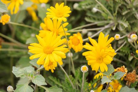 coronarium: Some yellow chrysanthemum coronarium on flower bed