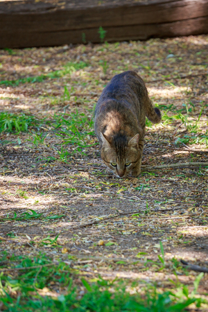 suspiciously: Tabby cat sniffing the ground in search of food