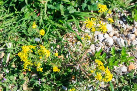 coronarium: Some wild chrysanthemum coronarium on flower bed