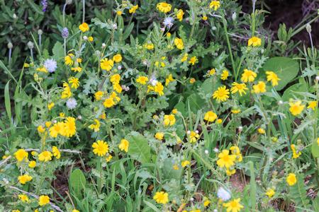 coronarium: Small wild yellow and white flowers Stock Photo