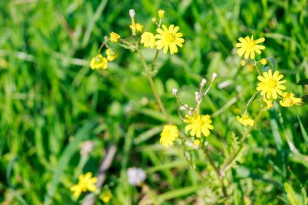 coronarium: Some small chrysanthemum coronarium on flower bed