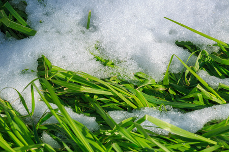 way out: Fresh green grass makes its way out of the snow