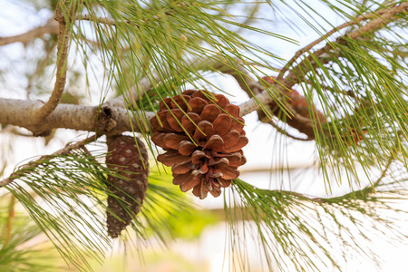 pinecones: Dry and young pinecones of mediterranean pine on tree