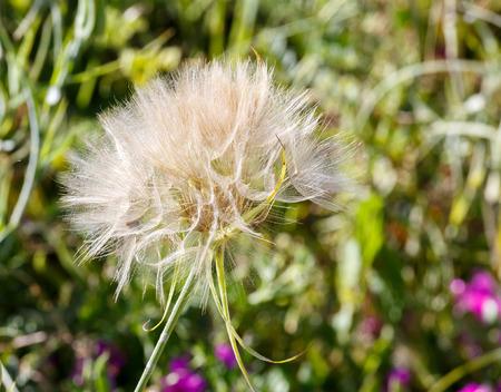 blowball: Big ripe white blowball on grass background