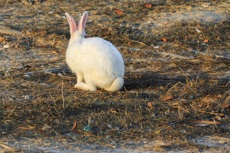 White rabbit with fluffy tail sitting back Stock Photo
