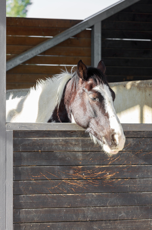hobby hut: Portrait of one sleeping spotted horse who is stand in a stable