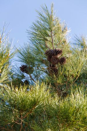 pinecone: Dry pinecone of pine on tree Stock Photo