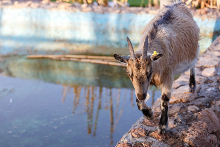 wild goat: Grey Goat walking along the edge of the pool