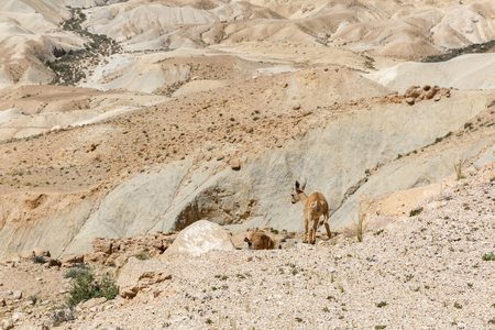nature reserves of israel: Goatling of nubian ibex escaping from the mountain