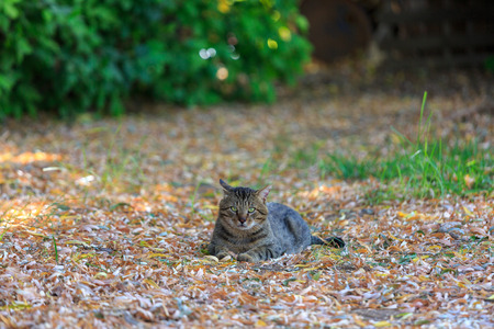 wretched: Homeless tabby cat lying on a dry leaves