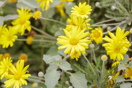 coronarium: Bright yellow chrysanthemum coronarium on flower bed
