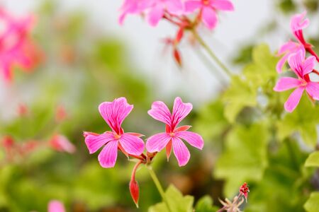 bicolor: Two small pink geranium flowers Stock Photo