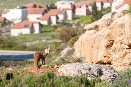 settlement: Female of red fox is standing front of small settlement