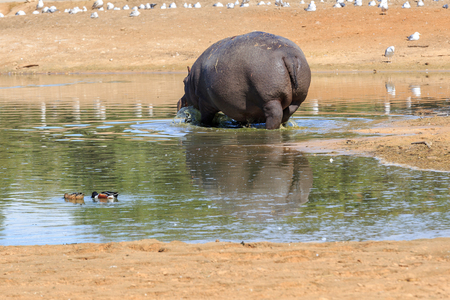 backwards: Hippo standing backwards in a small lake Stock Photo