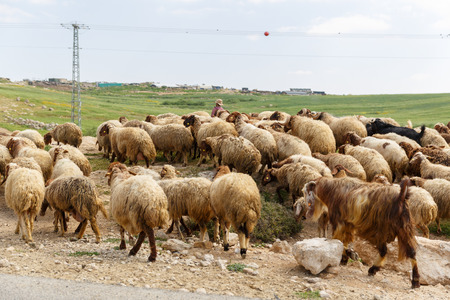israel farming: Big herd of sheep crossing the road for a shepherd Stock Photo