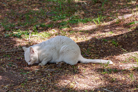 ailing: White ailing homeless white cat eating from the ground Stock Photo