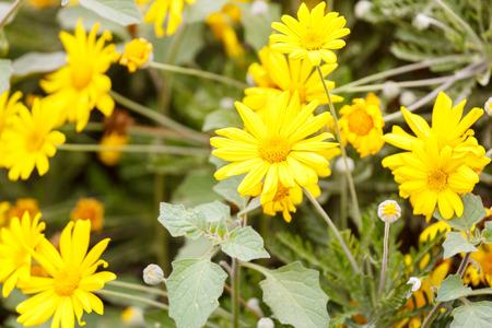 coronarium: Ripe yellow chrysanthemum coronarium on flower bed