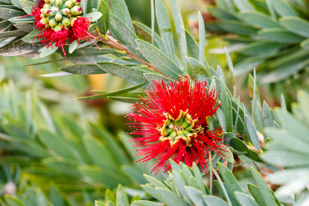 Red flowers and leaves of Callistemon