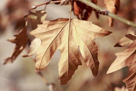 sicomoro: foglia di sicomoro morto sul ramo di albero