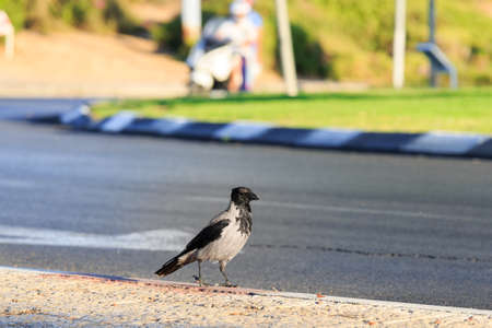 Portrait of hooded crow is walking at sunset