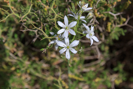 thorny: Many small white flowers on thorny bushes