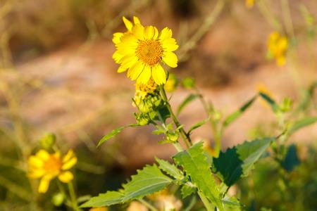 coronarium: Flowering yellow chrysanthemum coronarium in desert