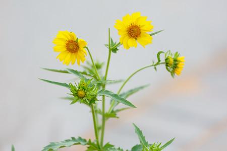 coronarium: Three flowering yellow chrysanthemum coronarium on blurred background