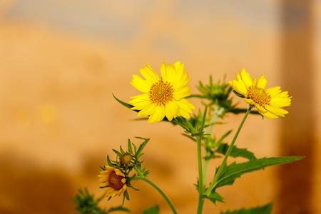 coronarium: Three flowering yellow chrysanthemum coronarium on blurred orange background Stock Photo