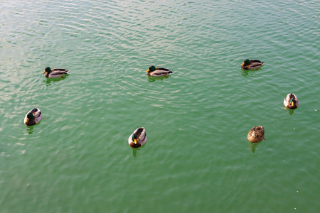 Group of seven beautiful ducks floating on the water