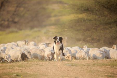 塵の雲で草を歩く羊の群れのボーダーコリー前面 写真素材
