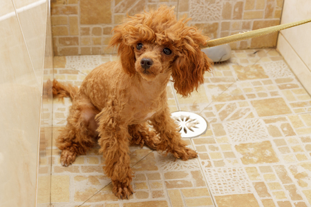 groomed: Toy poodle is waiting for washing in the shower during haircuts Stock Photo