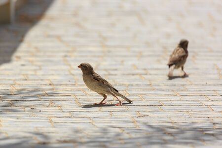 Pair of small sparrows who are standing on the sidewalk tile