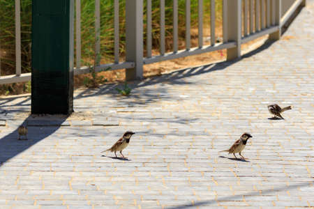 Flock of small sparrow are standing at ground Stock Photo