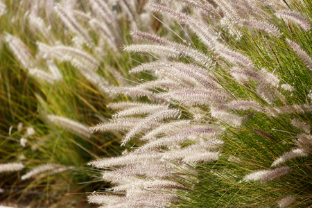eared: Brightly glowing in the sun decorative eared grass