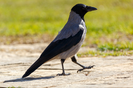 A gray hooded crow walked near a green grass Stock Photo