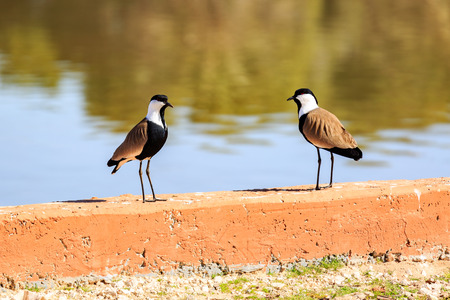 Two spur-winged lapwings near a lake