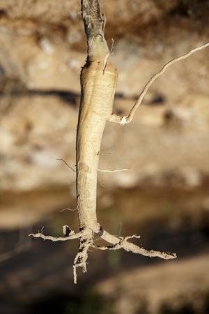 moonflower: Big dry root of a jimsonweed
