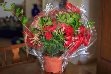 Flowering pot of mandevilla in cellophane packing in dark room