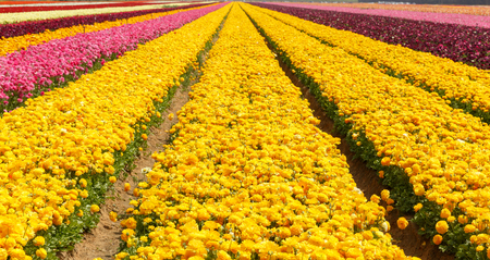 Big yellow, red, pink, violet and orange stripes of  asian buttercups on a field
