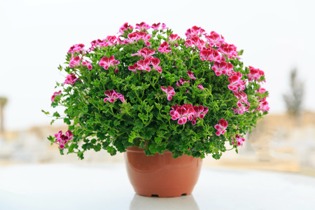 Pink french geranium in a red pot at street