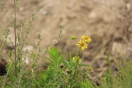 marguerite: Two last yellow chrysanthemum coronarium in desert on blurred background