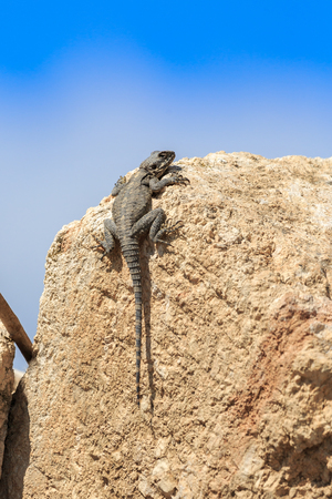 Big stellio lizard who are sitting on a stone
