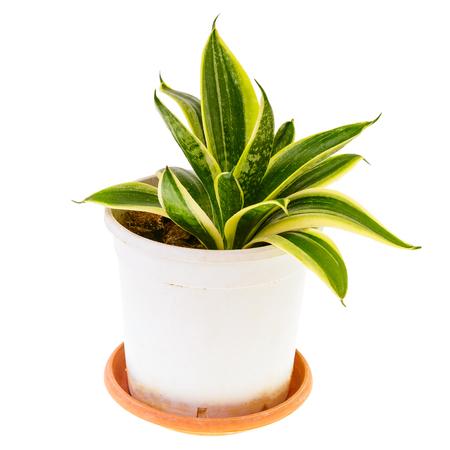 Sansevieria en pot blanc isolé sur fond blanc